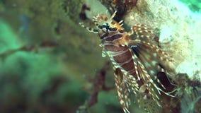Zebraon de Dendrochirus del lionfish de la cebra los corales en el mar Dumaguete del Zulú metrajes