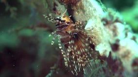 Zebraon de Dendrochirus del lionfish de la cebra los corales en el mar Dumaguete del Zulú almacen de metraje de vídeo