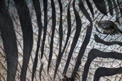 Zebraphant Stock Afbeelding