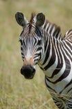 Zebraporträt Stockbild