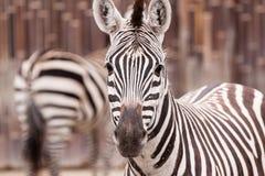 Zebraporträt Stockfotos