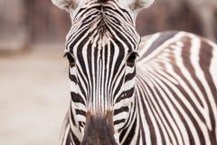Zebraporträt Stockfoto