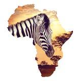 Zebraporträt auf afrikanischem Sonnenuntergang mit Akazienhintergrund Karte, Kontinent von Afrika Karte der wild lebenden Tiere u lizenzfreies stockbild
