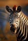 Zebraporträtnahaufnahme Lizenzfreie Stockfotos