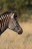 Zebraprofil lizenzfreies stockbild
