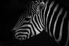 Zebraprofilporträt lizenzfreies stockfoto