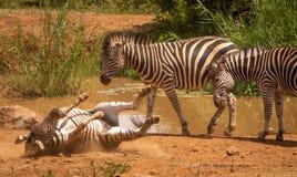 Zebrarollen aus den Grund mit zwei anderes Zebraaufpassen stockfotografie