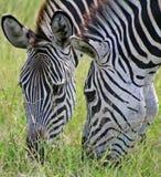 zebras βοσκής στοκ φωτογραφίες με δικαίωμα ελεύθερης χρήσης