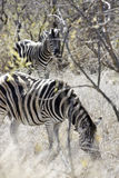 zebras βοσκής Στοκ Φωτογραφίες