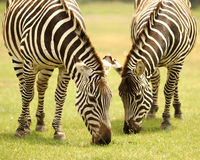 zebras βοσκής Στοκ εικόνα με δικαίωμα ελεύθερης χρήσης