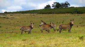 Zebras βουνών ακρωτηρίων που συγκεντρώνονται Στοκ Εικόνα