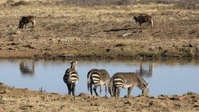 Zebras βουνών ακρωτηρίων σε ένα waterhole απόθεμα βίντεο