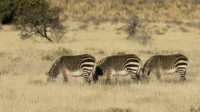 Zebras βουνών ακρωτηρίων στο ανοικτό λιβάδι απόθεμα βίντεο