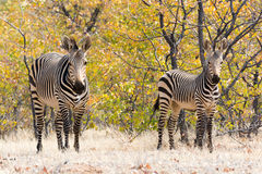 Zebras βουνών Hartmann Στοκ εικόνα με δικαίωμα ελεύθερης χρήσης