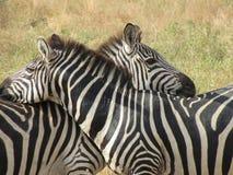 Zebras ερωτευμένο Στοκ εικόνα με δικαίωμα ελεύθερης χρήσης