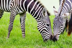 Zebras ζεύγους Στοκ εικόνες με δικαίωμα ελεύθερης χρήσης