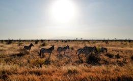 Zebras κάτω από τον καυτό αφρικανικό ήλιο, Κένυα στοκ εικόνες
