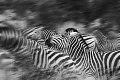 Zebras κίνησης Στοκ Εικόνες