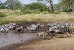 Zebras και πιό wildebeest τρέξιμο στοκ φωτογραφία με δικαίωμα ελεύθερης χρήσης