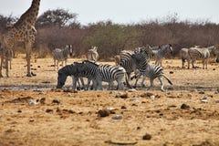 Zebras και giraffes Damara αρσενικών πάλης στο waterhole, Etosha, Ναμίμπια Στοκ Εικόνες