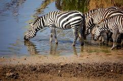 zebras κατανάλωσης Στοκ Εικόνες
