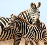 zebras κινηματογραφήσεων σε πρώτο πλάνο Στοκ Εικόνες