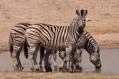 Zebras πάρκων Kruger Στοκ εικόνα με δικαίωμα ελεύθερης χρήσης