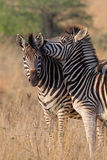 zebras παιχνιδιού Στοκ Εικόνες