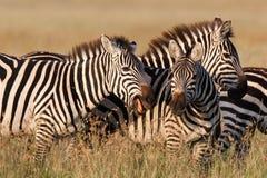 zebras παιχνιδιού Στοκ Εικόνα