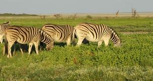 Zebras πεδιάδων στις πεδιάδες Etosha απόθεμα βίντεο