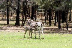 Zebras πεδιάδων στοκ φωτογραφία
