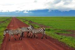 Thomson gazelle Στοκ Εικόνες
