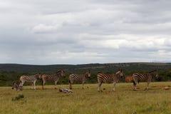 Zebras που παρατάσσει στο φράγμα Στοκ Εικόνες