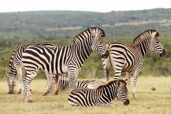 Zebras που περιμένει μαζί να πιει λίγο νερό Στοκ Φωτογραφία