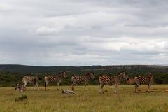 Zebras που περιμένει υπομονετικά σε μια γραμμή που πίνει λίγο νερό Στοκ Εικόνα