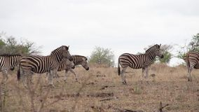 Zebras που περπατά περίπου στην αφρικανική αγριότητα φιλμ μικρού μήκους