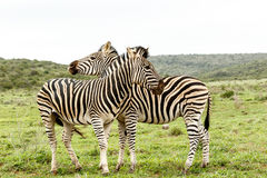 Zebras που στέκεται και που προσέχει στις διαφορετικές κατευθύνσεις Στοκ Εικόνες