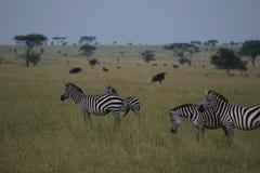 Zebras σε Serengeti Στοκ Εικόνες