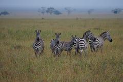 Zebras σε Serengeti Στοκ Εικόνα