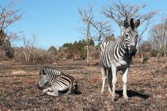 zebras στήριξης Στοκ εικόνα με δικαίωμα ελεύθερης χρήσης