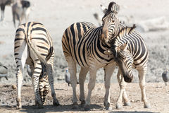Zebras στην αφή Στοκ Εικόνες