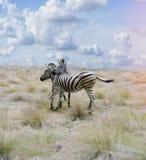 Zebras στη σαβάνα Στοκ Εικόνες
