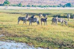 Zebras στο εθνικό πάρκο Chobe, Μποτσουάνα Σαφάρι άγριας φύσης στα αφρικανικές εθνικές πάρκα και τις επιφυλάξεις άγριας φύσης Στοκ Εικόνα