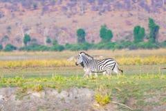 Zebras στο εθνικό πάρκο Chobe, Μποτσουάνα Σαφάρι άγριας φύσης στα αφρικανικές εθνικές πάρκα και τις επιφυλάξεις άγριας φύσης Στοκ Φωτογραφία