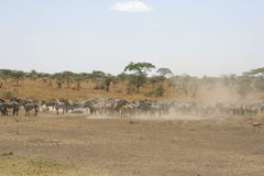 Zebras στο εθνικό πάρκο Serengeti, Τανζανία, Αφρική Στοκ φωτογραφίες με δικαίωμα ελεύθερης χρήσης