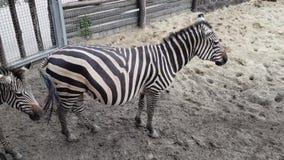 Zebras στο ζωολογικό κήπο της Βουδαπέστης φιλμ μικρού μήκους