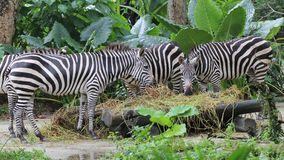 Zebras στο ζωολογικό κήπο της Σιγκαπούρης Στοκ φωτογραφία με δικαίωμα ελεύθερης χρήσης