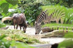 Zebras στο ζωολογικό κήπο της Σιγκαπούρης Στοκ Φωτογραφία