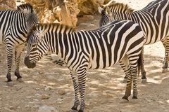 Zebras στο ζωολογικό κήπο Στοκ εικόνα με δικαίωμα ελεύθερης χρήσης