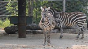 Zebras στο ζωολογικό κήπο φιλμ μικρού μήκους